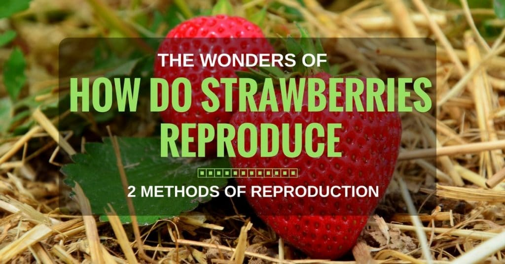 how do strawberries reproduce 2