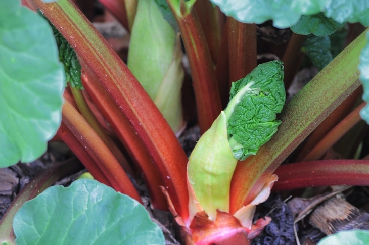 A budding flower of a rhubarb plant amid the spring