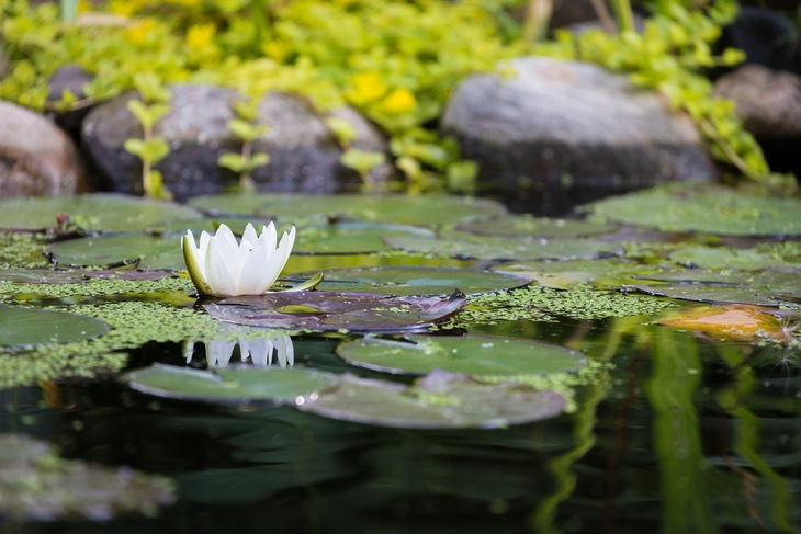 A healthy pond is great for aquatic plants to grow