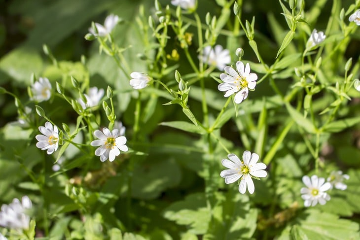 Chickweed can grow taller than other kinds of grass on the lawn