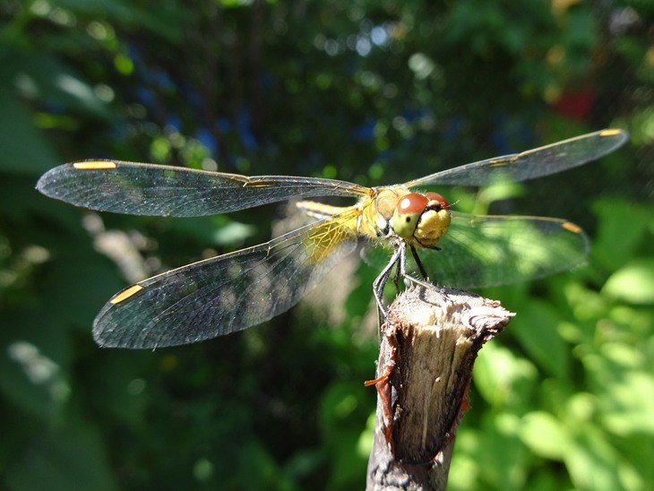 Dragonflies are a colorful addition to a garden, but overpopulation of this insect is an annoyance