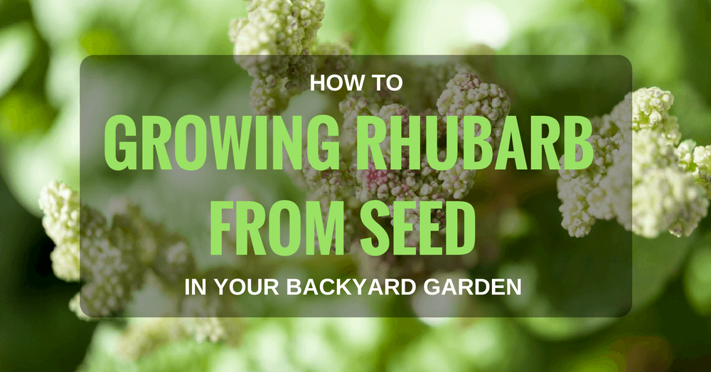 How To Grow Rhubarb From Seed In Your Backyard Garden
