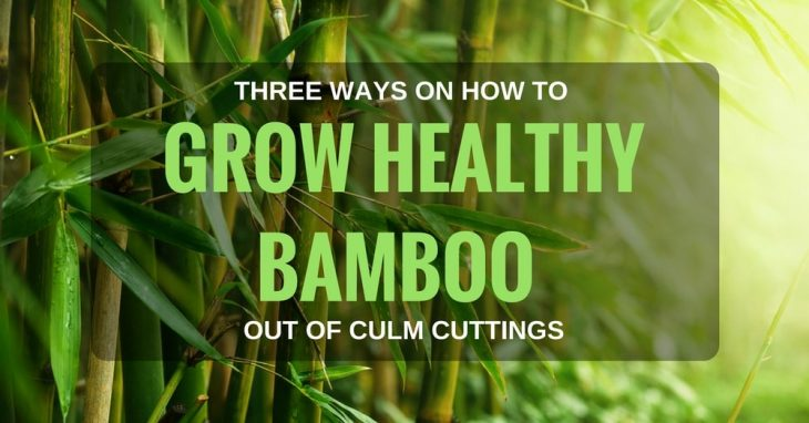 Three Ways On How To Grow Healthy Bamboo Out Of Culm Cuttings