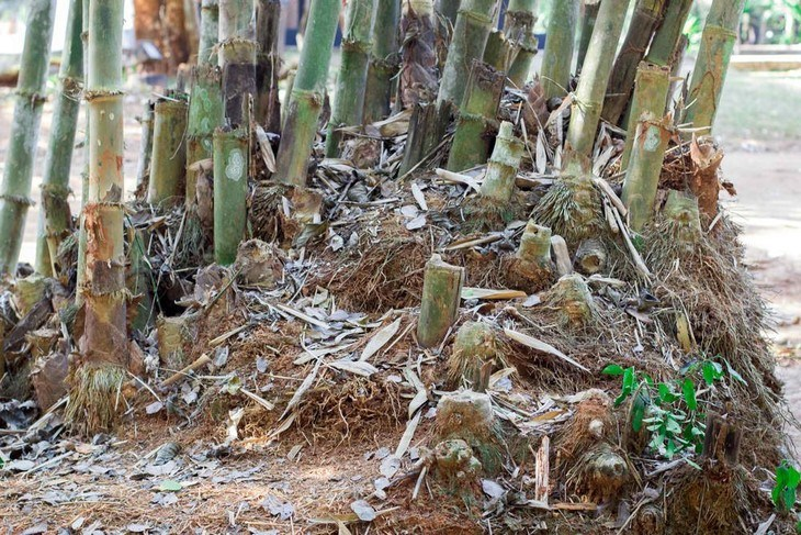 Growing a bamboo plant from its rhizomes requires a different gardening method