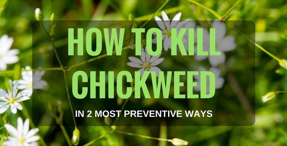 How to Kill Chickweed in 2 Most Preventive Ways