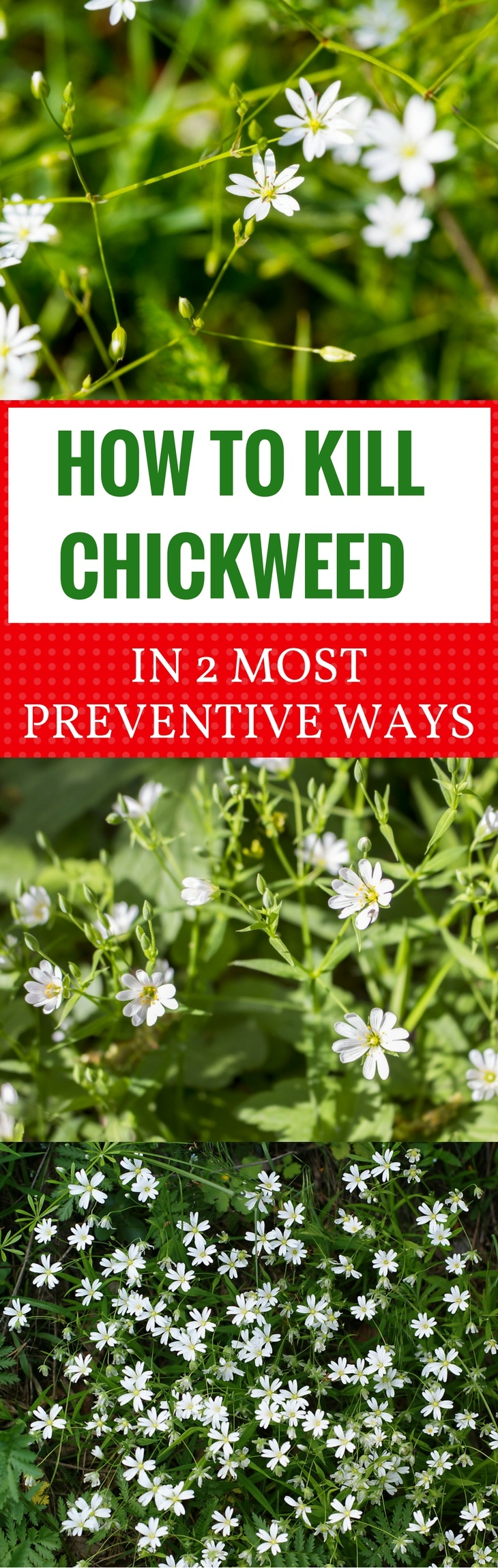 How to Kill Chickweed in 2 Most Preventive Ways -pin it