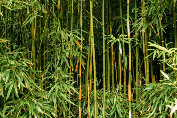 Tall, green, healthy bamboo plants standing firmly together in the wild