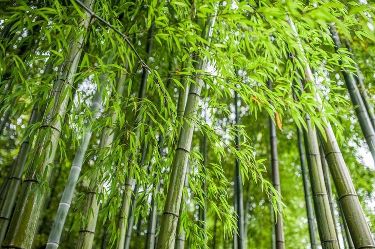 With daily care and maintenance, you can grow a healthy bamboo plant