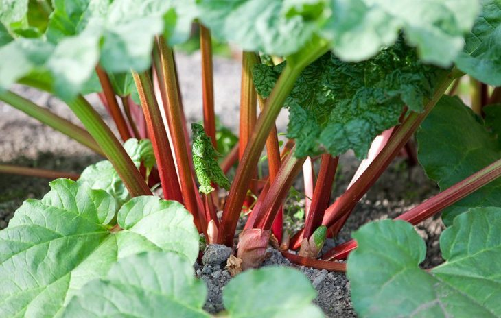 Well-cared rhubarb plants can beautifully grow in the backyard