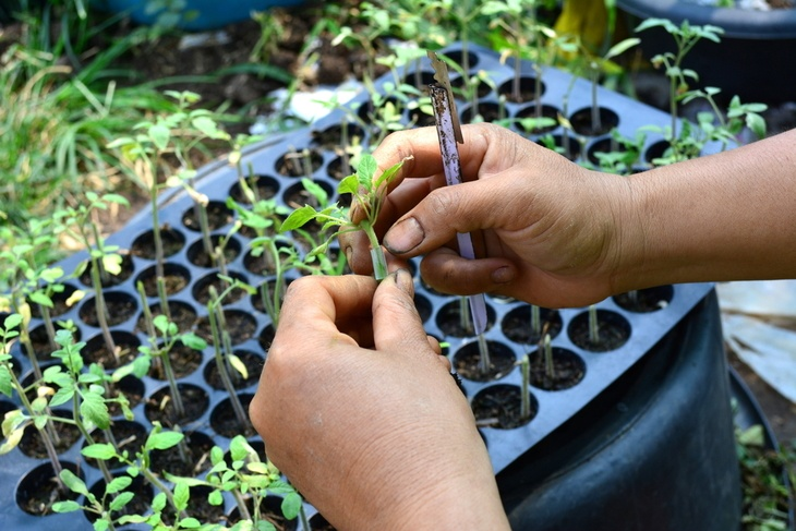 A photo showing the correct way of a plant propagation