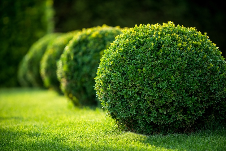 Buxus shrub is one of the most popular evergreen shrubs.