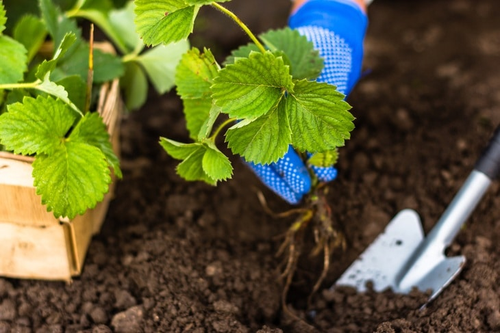 Carefully planting new strawberry plants in the garden the right way