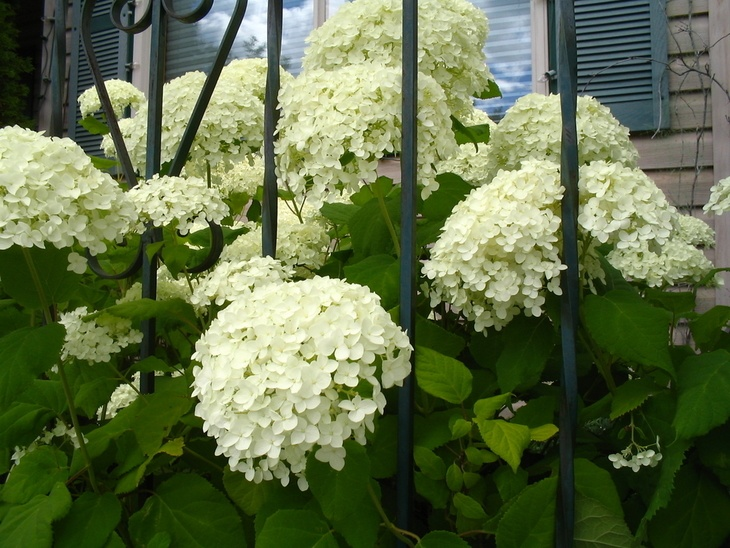 Japanese Snowball Viburnum has white, round flowers.