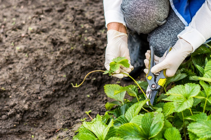 Preparing and cutting vines of a strawberry plant for propagation