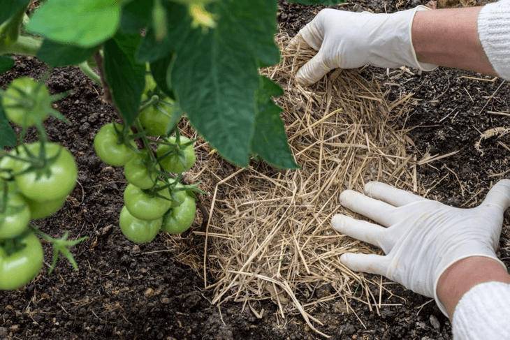 Use organic mulch for tomatoes, peppers, and cucumbers.