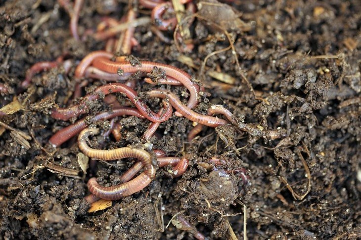 Worms can help turn kitchen scraps into a soil improver and plant food