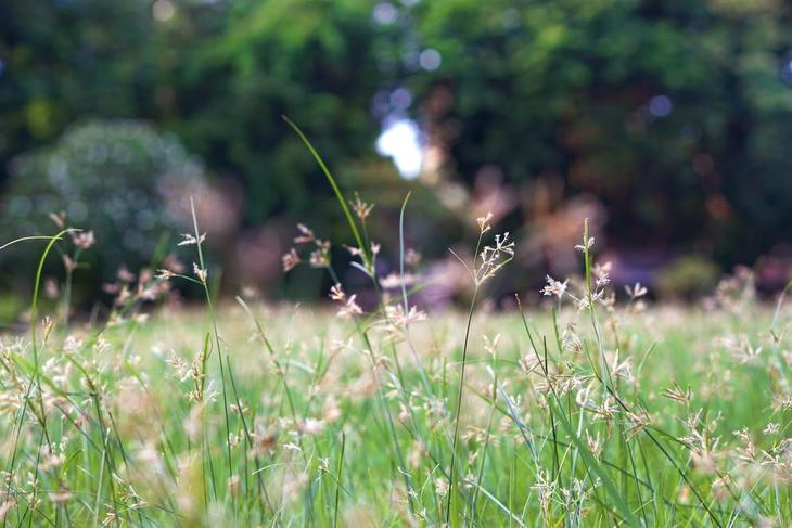 Yellow nut grass or sedge can be seen blending in with the grass surrounding it