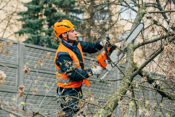 An arborist is pruning a tree to reduce branch fall outs