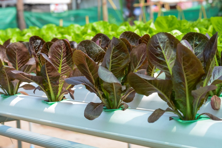 Hydroponics is growing plants without soil