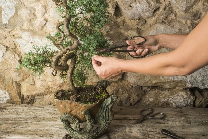 Juniper bonsai tree pruning woman, bonsai tree, scissors and pincers on old wooden table