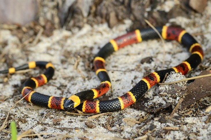Coral snakes are one of the most common snakes you can see