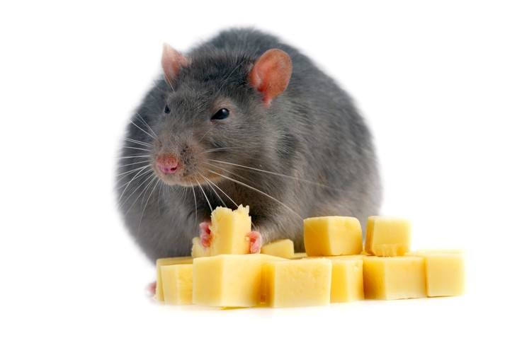 Some rats kill insects and water creatures for food
