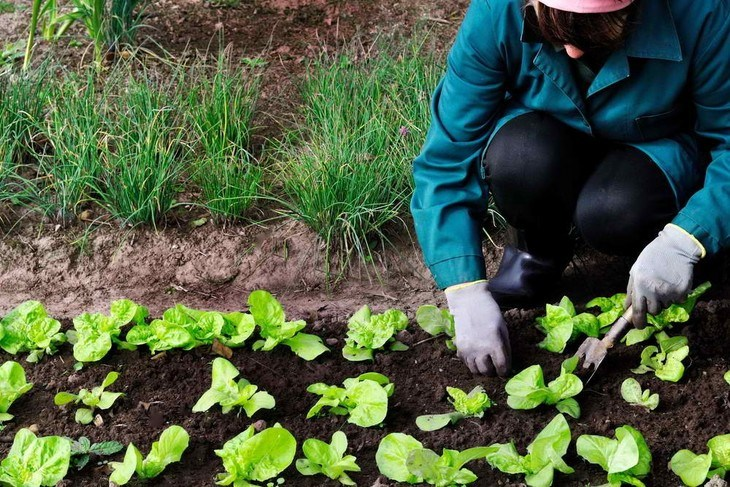 This woman tends to her lettuce plot to get rid of weeds that can affect her lettuces' quality