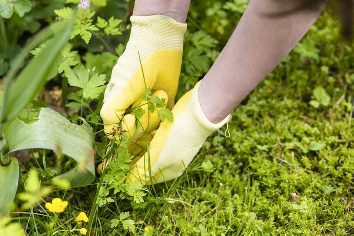 Use gloves in pulling out weeds to protect your hands from being wounded