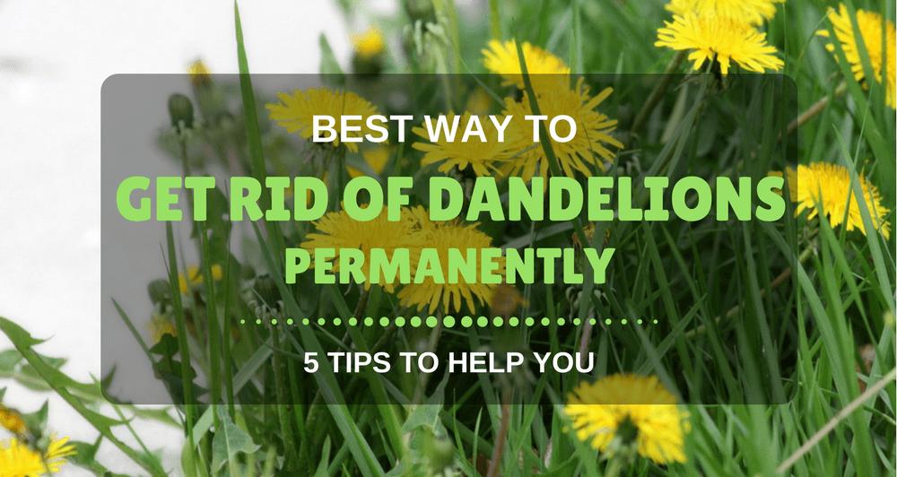 Best Way To Get Rid Of Dandelions Permanently