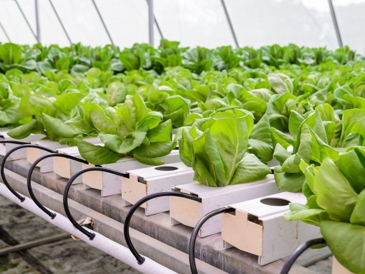 NFT system is often used to grow the different types of lettuce