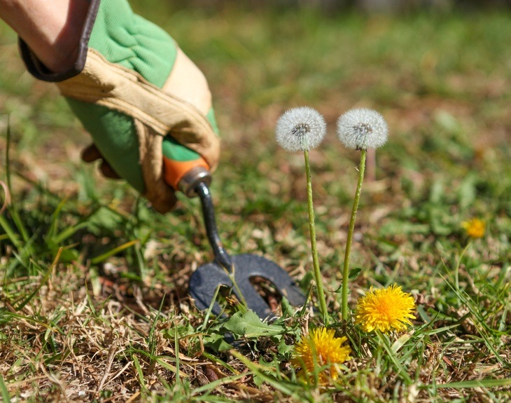 Natural Ways To Get Rid Of Dandelions