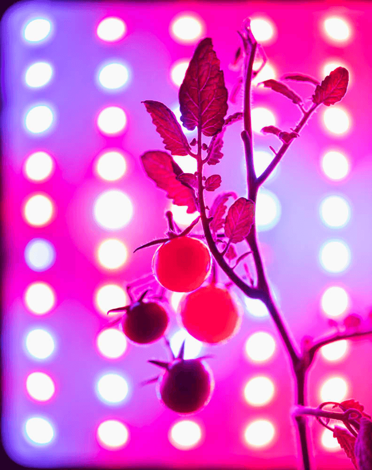 Plants that receive LED wavelengths yield healthier fruits.