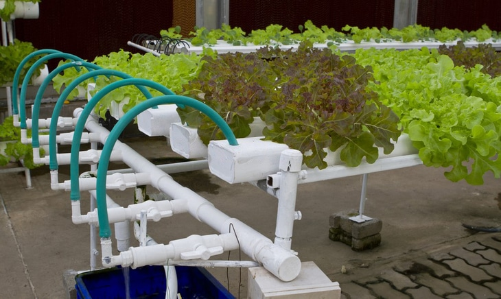 Lettuce that is grown hydroponically needs enough water, light, and oxygen to support proper growth