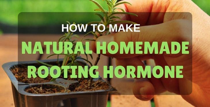Root growth hormones