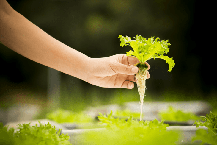 The growth of plant roots in your seedlings is a sign that it is ready to be transplanted.