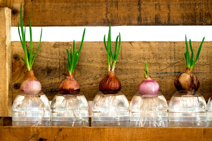 You can also grow onions using hydroponics