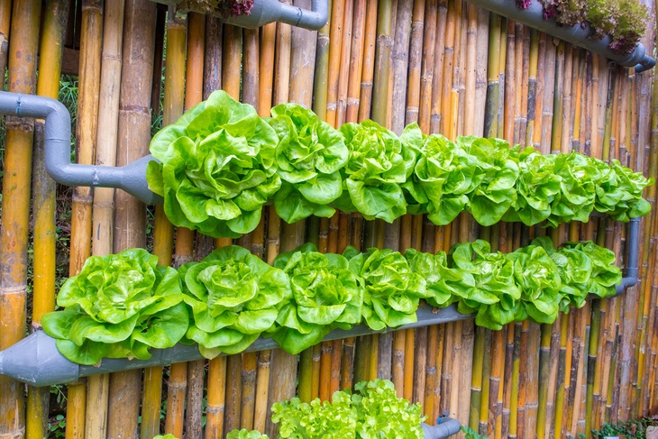 Vertical hydroponic gardens can also be used to decorate your backyard or balcony
