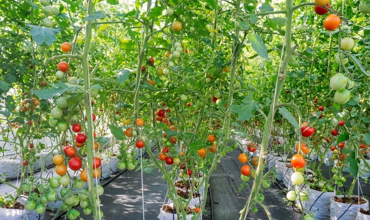 You can grow different vegetables and fruits like tomatoes using the hydroponic method