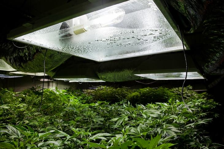 HPS light bulbs are set up in a certain distance away from the plants themselves