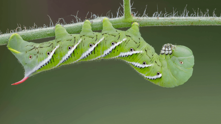 Hornworms are green in color with a stingless horn-like protrusion at their rear