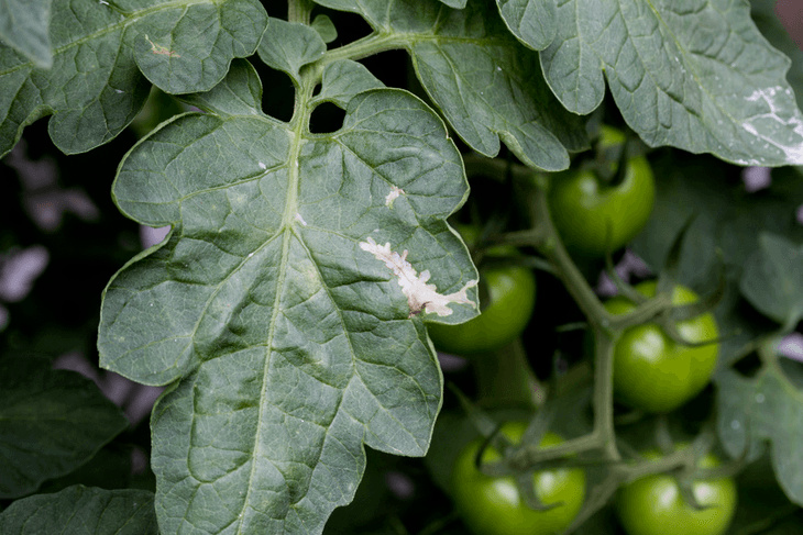 If you identify leaves with severe defoliation, large holes, scarring on fruit surfaces, or and devoured flowers, it should sound an alarm that your garden is infested with tomato hornworms