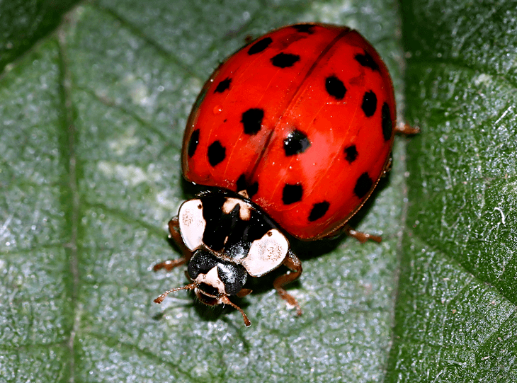 Lady beetles tend to be carnivorous and is an ideal introduction to your tomato garden as they will feed on the worms' larvae.