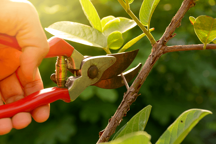 Pruning is important in keeping your plant's current health or to improve its health further