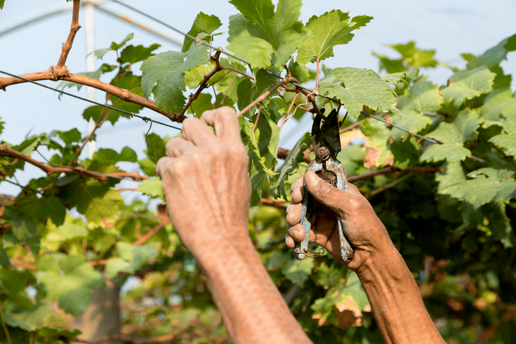 Pruning your plants and shrubs like grapevines is needed to control their direction of growth