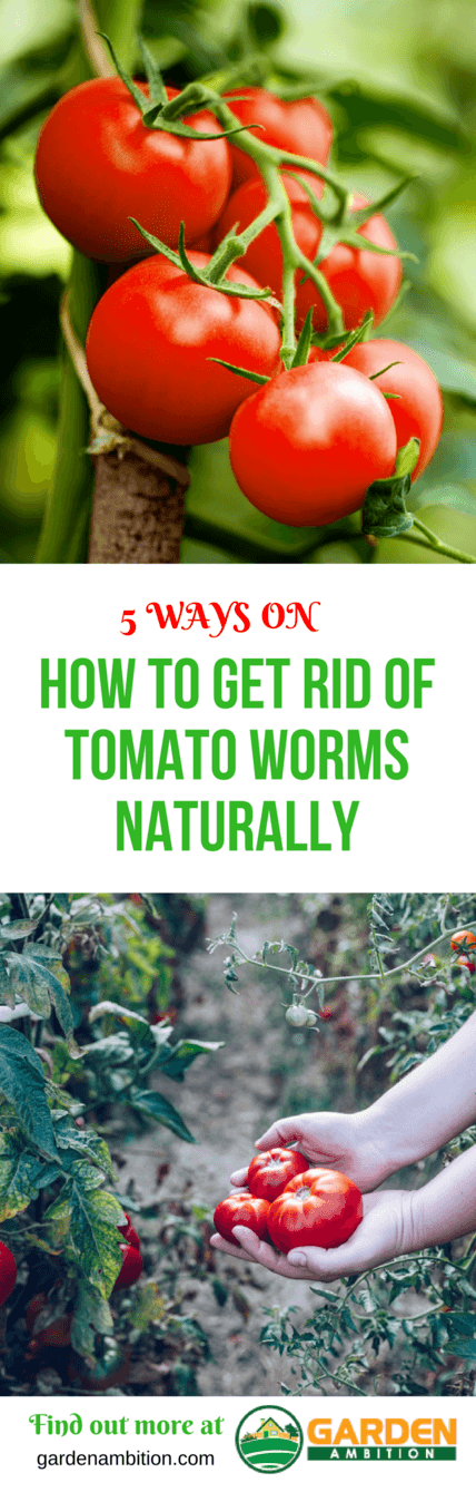 how to get rid of tomato worms naturally pin it