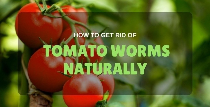 Get Rid Of Tomato Worms Naturally
