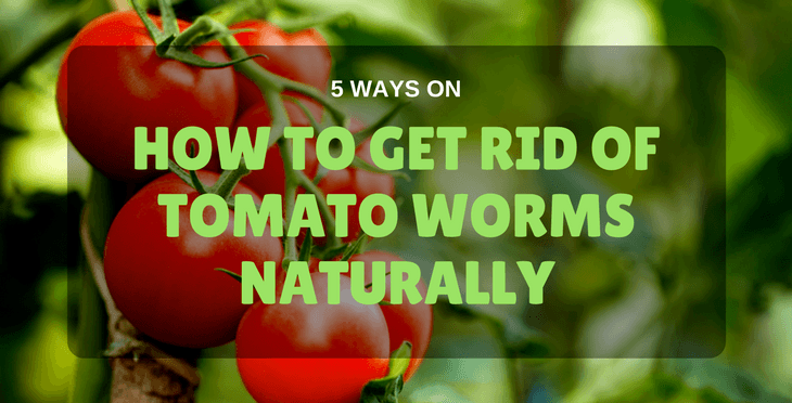 how to get rid of tomato worms naturally