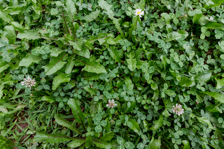 A green meadow can have some dried flowers, clovers, and weeds because of poor soil quality