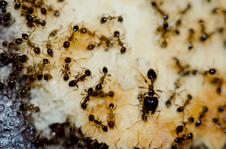 Argentine ants are the common type of ant found inside a house