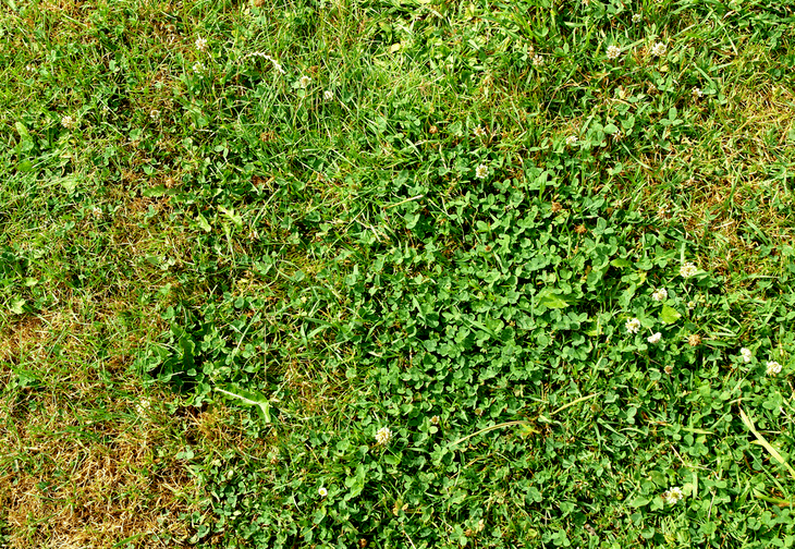 Grass may have brownish areas due to the growth of clover